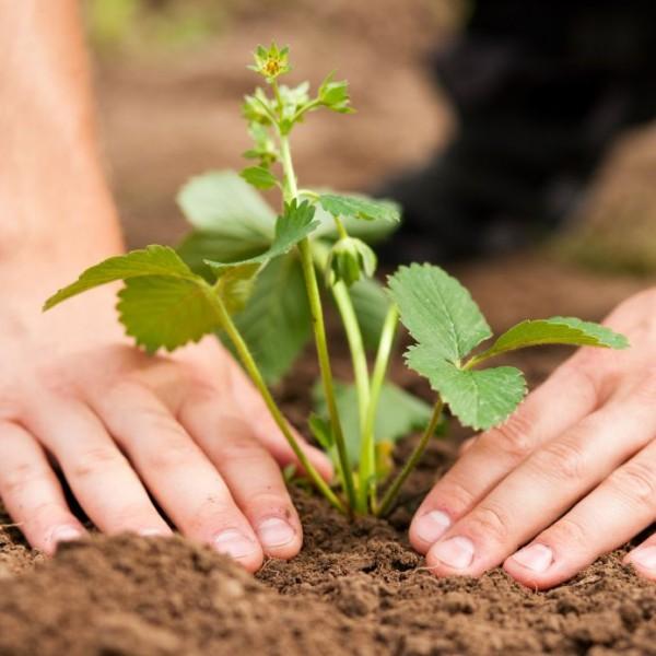 Садовая земляника не очень требовательна к почве