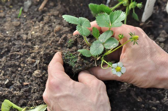 Лучше всего для земляники подходят легкие суглинистые или супесчаные почвы
