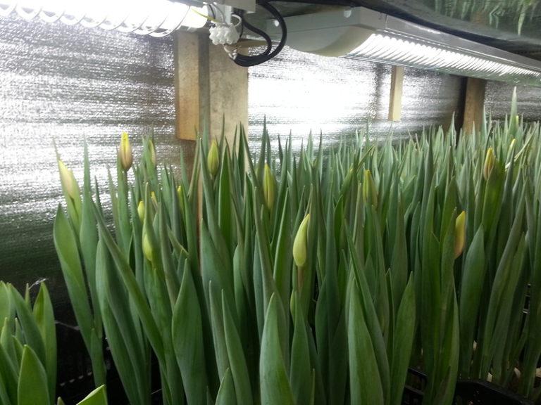 Выращивание тюльпанов на гидропонике позволяет получить отличные цветы на срезку