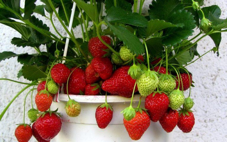 Выращивание ремонтантной клубники требует от хозяев огорода или дачи определенных усилий