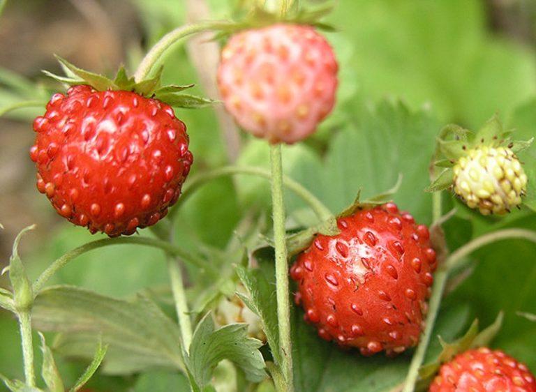 Правильнее выбрать семена из середины плода или из основания