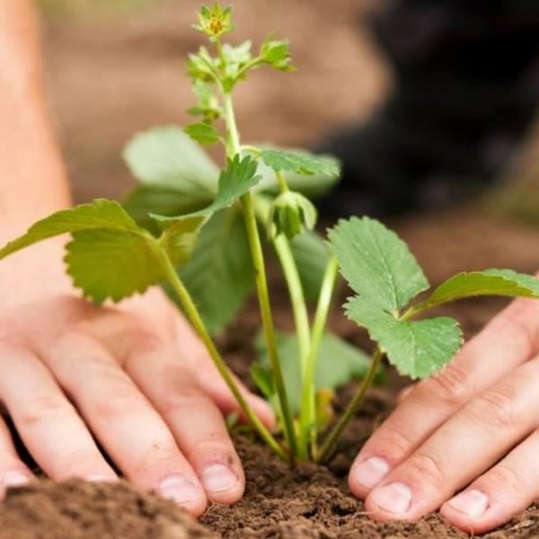 Главное — обеспечить растению качественную почву и достаточное количество солнечного света