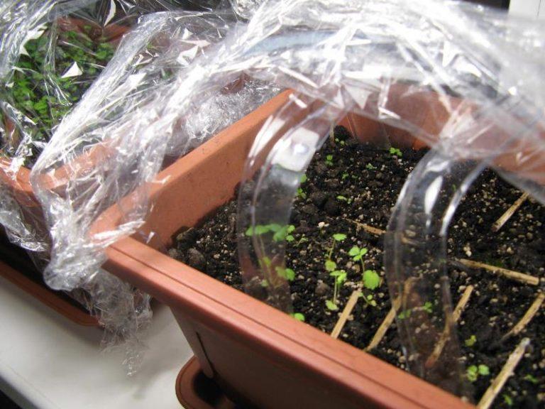 Поливайте ее до влажного состояния, но не допускайте сырости. Когда семена дадут ростки, снимите пленку, чтобы она не останавливала этот процесс