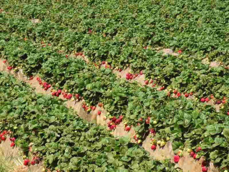 Под выращиванием садовой земляники в открытом грунте подразумевается возделывание ее на грядке, не защищенной даже пленочным укрытием
