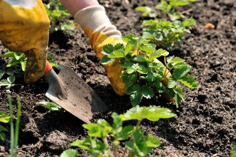 Высаживают молодую садовую клубнику ранней весной или в конце лета (начале осени) в лунки с влажной землей