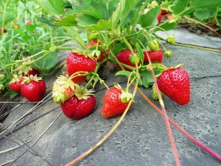 Клубника является одной из самых любимых садовых ягод