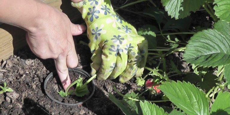 Размножение земляники усами является самым популярным и простым способом увеличения ягодных кустов