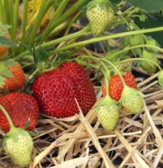 Многие садоводы интересуются, как подготовить клубнику к зиме, чтобы сохранить необходимую популяцию