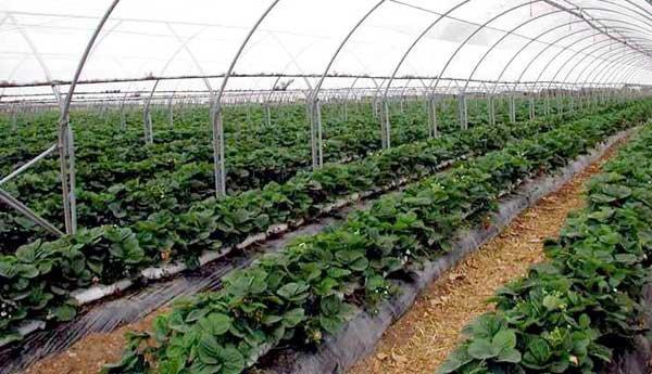 Все стремятся к тому, чтобы свежая, ароматная клубника всегда была на столе, для них актуальна технология выращивания клубники круглый год