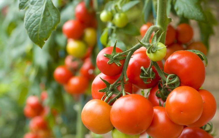 Название Клуша дано помидору неспроста, кусты вырастают невысокие, но компактные, внешний вид схож с курицей-наседкой
