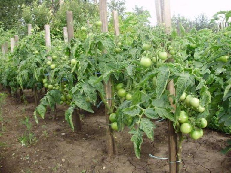 На одном квадратном метре высаживают до 7 растений