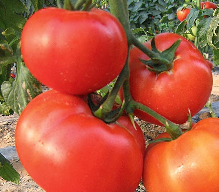 Рекомендуется собирать уже созревшие томаты сразу же, не давая им переспевать