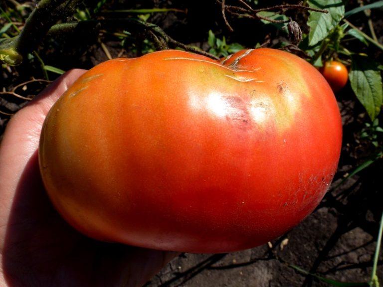 Селекционеры утверждают, что вес одного плода данного сорта томатов может достигать даже 1 кг