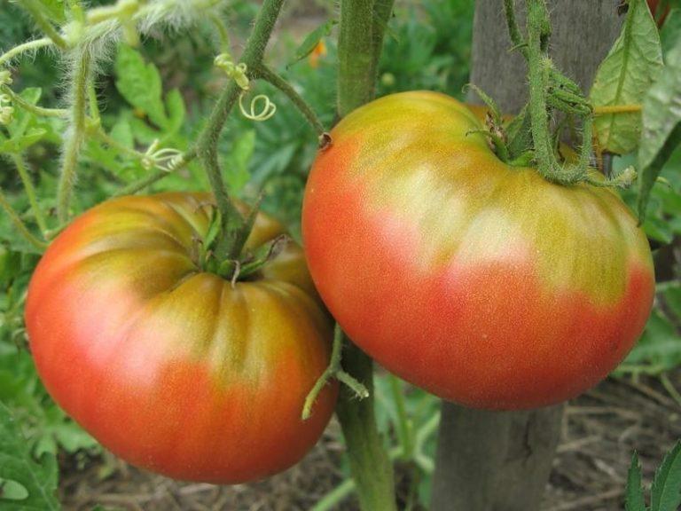 Как свидетельствуют отзывы овощеводов, положительным качеством данного сорта томатов является высокая урожайность и повышенная устойчивость ко всевозможным заболеваниям