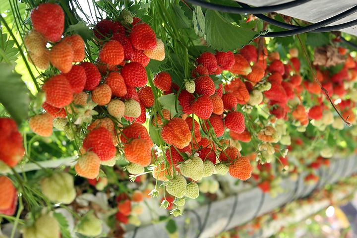 В закрытом грунте клубнику можно выращивать в горшках