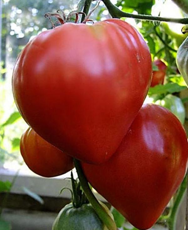 Штамбовое детерминантное растение наделено невысоким ростом, взрослые кусты достигают 60-65 см.