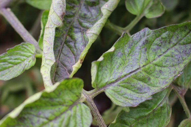 Необходимо отметить, что растения заболевают из-за ослабленного иммунитета