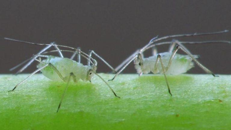 Еще одной причиной засыхания листьев томата является поражение насекомыми