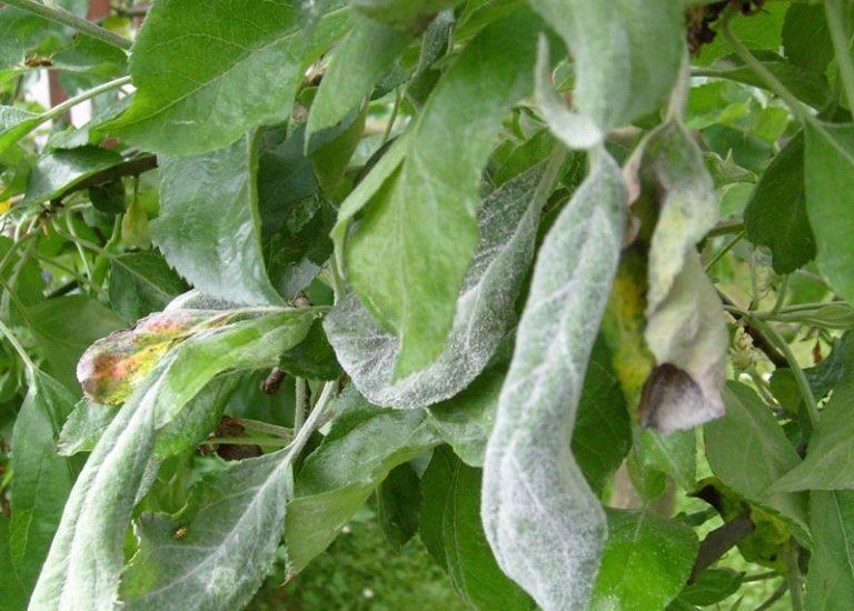 Для определения конкретного вида вредителя стоит внимательно осмотреть листья