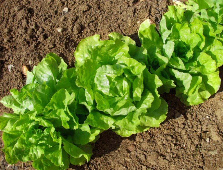 Хоть культура и неприхотливая, но выращивание салата — кропотливый труд