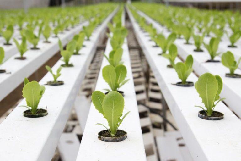 В больших фермерских хозяйствах применяют способ выращивания салата на гидропонике