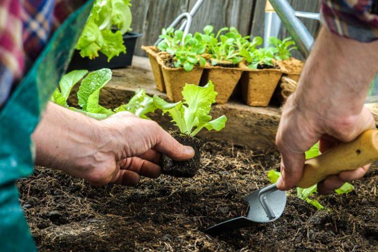 В маленьких теплицах частных усадеб практикуется грунтовое выращивание листового салата