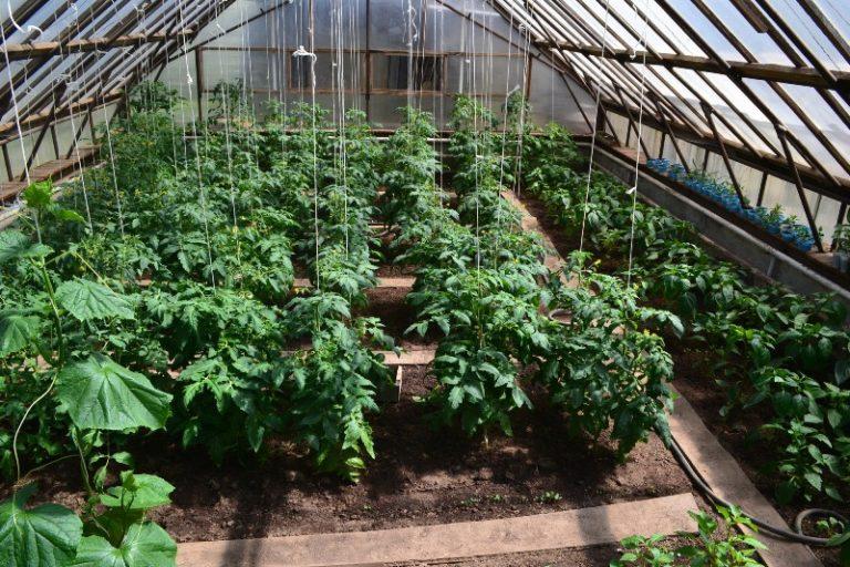Серьезные перепады ночных и дневных температур способствуют деформации томатов
