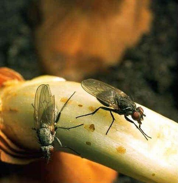 Мухи-вредители луковичных растений появляются уже в конце апреля — начале мая, когда цветут вишня и одуванчик