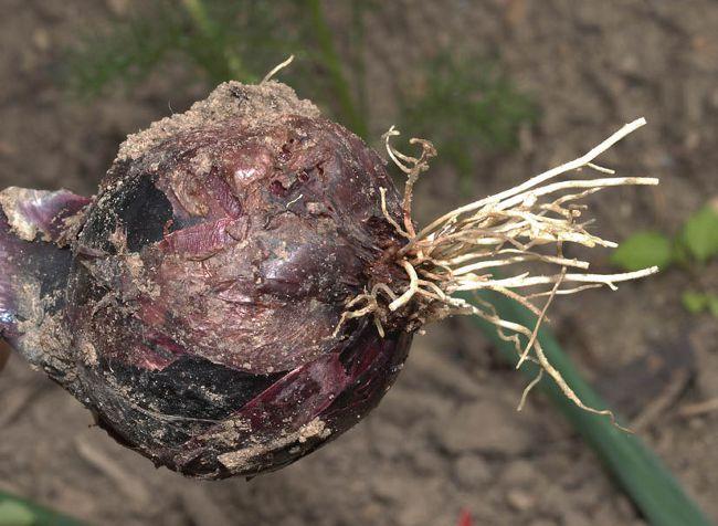 По-настоящему опасны для лука, чеснока и тюльпанов личинки насекомого, которые вылупляются из яиц, отложенных мухой непосредственно на всходы растений или в близлежащую почву