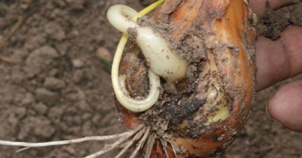 Пораженные луковицы растений начинают гнить, листья сохнут и желтеют