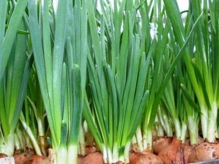 Как вырастить лук на зелень