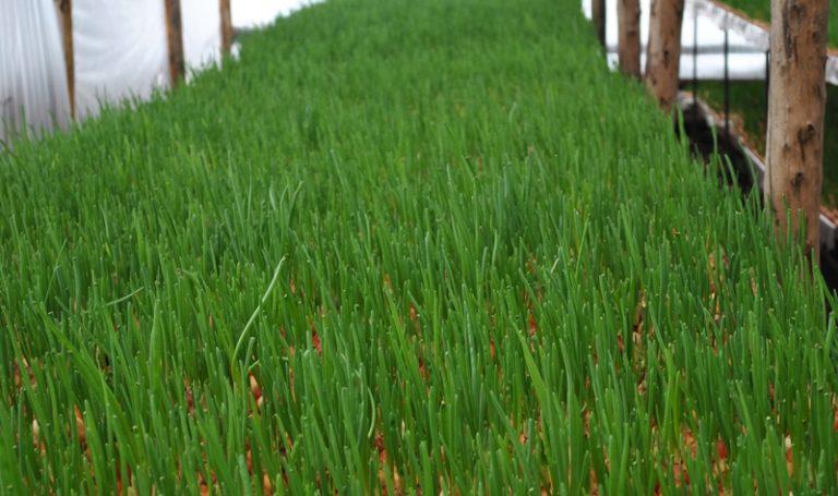 Выращивание лука на зелень в теплице или парнике дает возможность независимо от времени года подать свежую зелень к столу