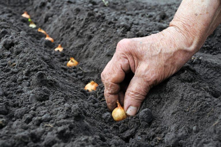 Луковицы рекомендуется вымочить в теплой воде, далее их укладывают на землю