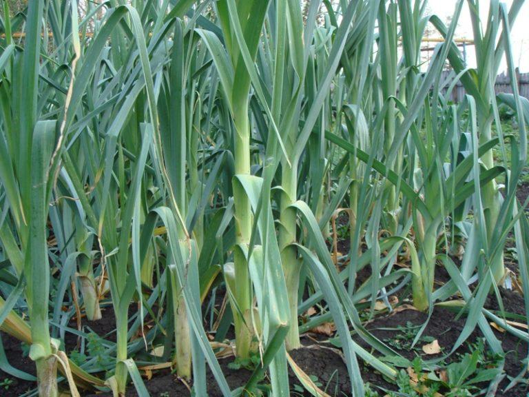 В зависимости от сорта и срока посадки, сбор урожая может различаться по времени