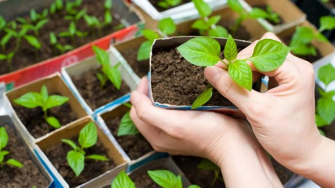 Пока почва не достаточно прогрелась, необходимо подготовить рассаду