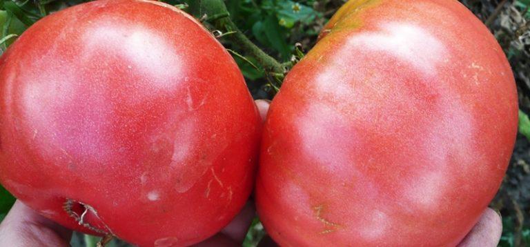 Розовые помидоры переносят долгую транспортировку