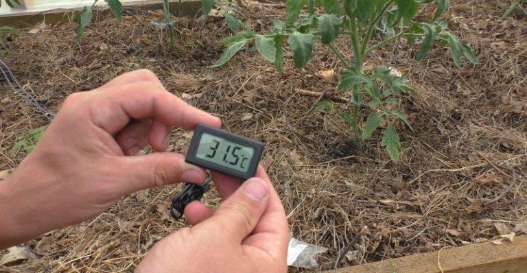 Если из-за перегрева температура поднимется выше +35°С, помидоры будут сбрасывать листья