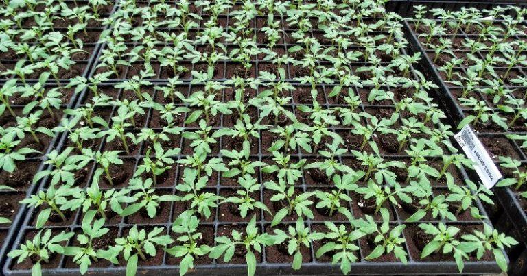 Если листья томатов стали опадать сразу после высадки растений на постоянное место, то это связано, скорее всего, с повреждением корешков рассады помидор при пересадке