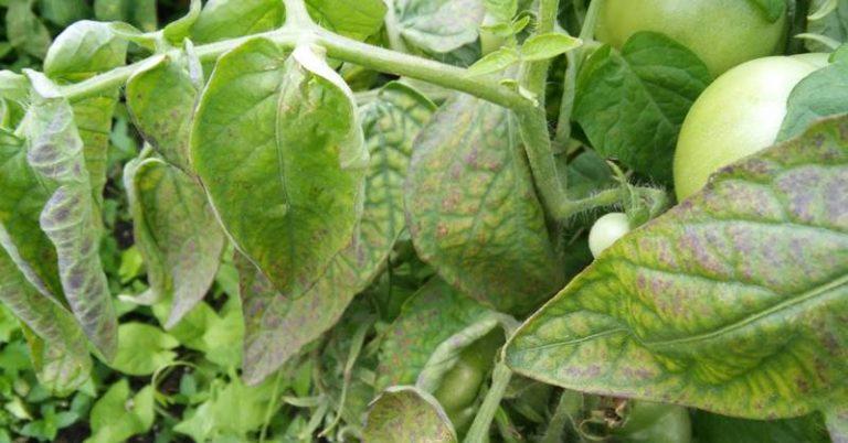 Если опавшие листья у томатов сначала меняют цвет, на них появились бурые, серые или белые пятна, то причиной могут являться некоторые болезни