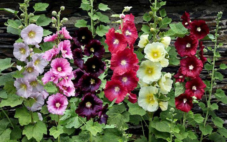 В природе произрастает до 30 видов однолетних растений, а селекционерами выведено до 60 сортов мальвы, в том числе двухлетние и многолетние