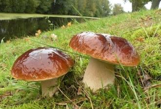 Как вырастить мицелий белого гриба