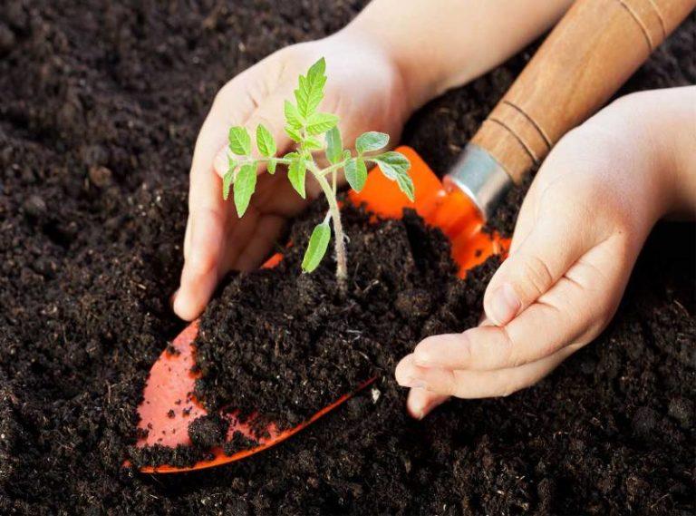 Сорт томатов Микадо капризен к почве, поэтому регулярно рыхлите и удобряйте землю