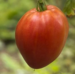 Любителям мясистых и крупных плодов следует выбирать томат Мишка Косолапый
