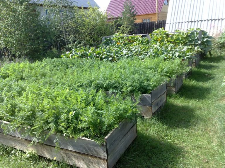 Суть методики Митлайдера в том, что овощи высаживаются густо на открытых грядках