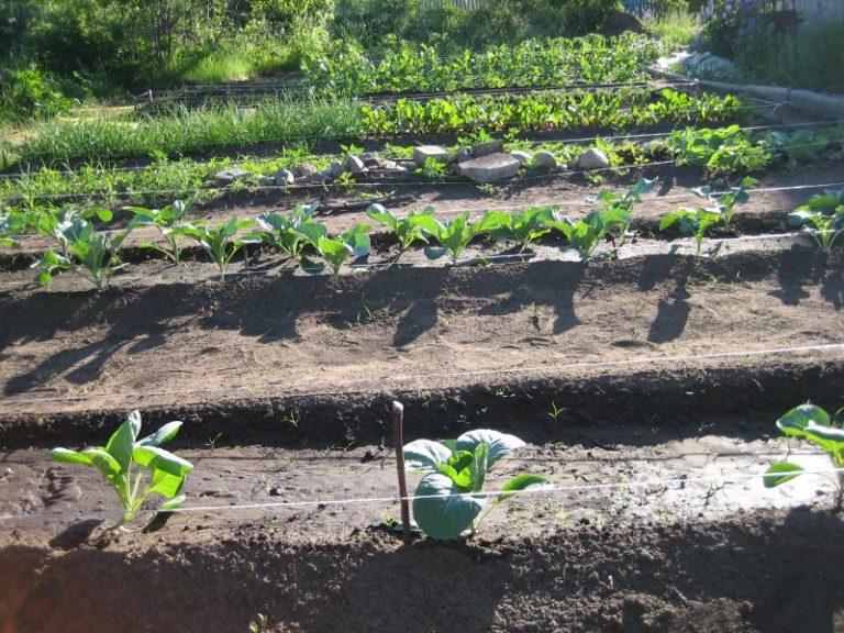 Митлайдер разработал уникальную схему посадки культур на огороде, которая позволила огородникам получить обильный урожай при любой погоде, климате, сезонности и т.д.