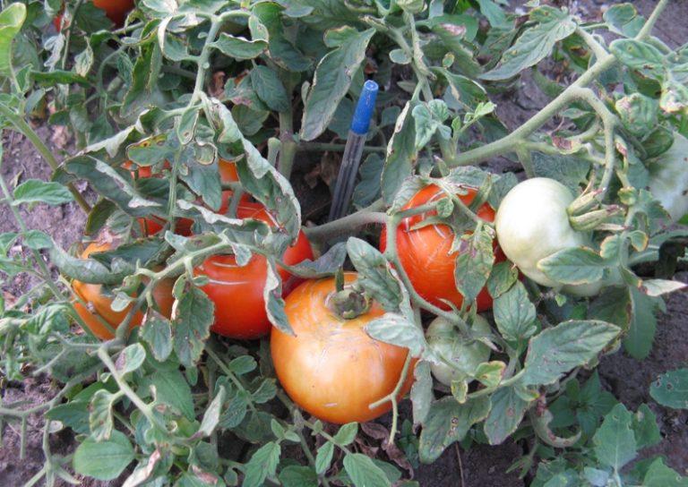 Плоды Монгольского карлика не отличаются особой сладостью, но они имеют выраженный помидорный вкус и хороши в салатах и консервации