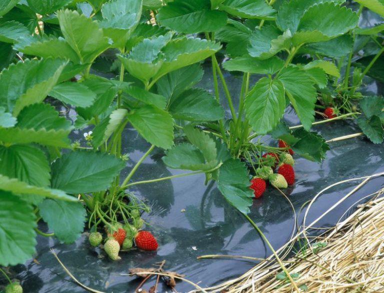 В наше время широкое распространение получила технология выращивания клубники на пленке