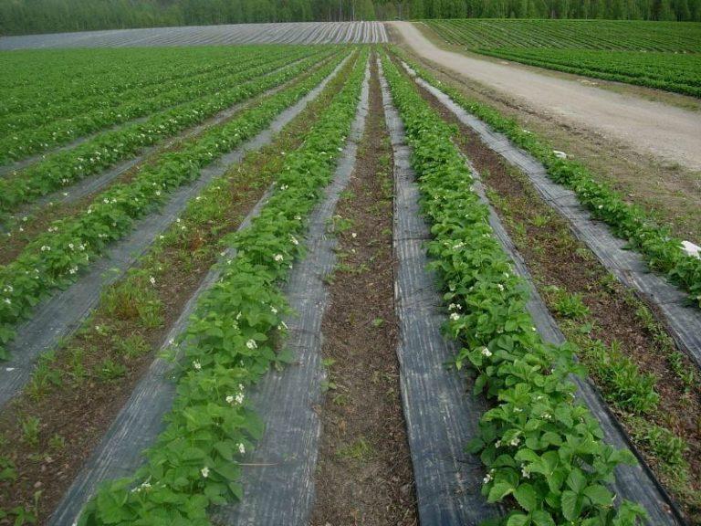 Рубероид — это плотное покрытие, которое совершенно не опасно для растения, не выделяет вредных примесей