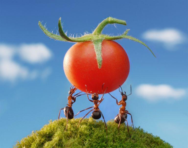 Муравьи в теплице с помидорами — это основная проблема садово-огородного хозяйства