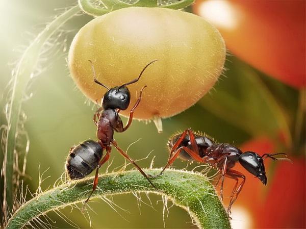 Чтобы не навредить томатам и изгнать вредителей, можно полить теплицу слабым раствором марганца
